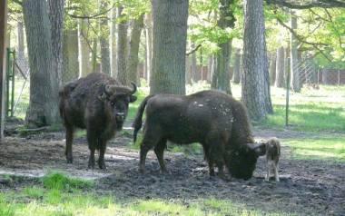 Trzeba było zlikwidować całe stado żubrów ze Smardzewic. Zostały ostatnie trzy, które lada dzień zostaną uśpione