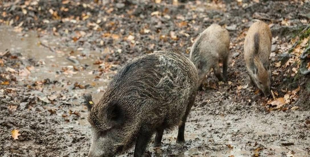 Myśliwi walczą z afrykańskim pomorem świń. Na Opolszczyźnie zastrzelono 8 tysięcy dzików