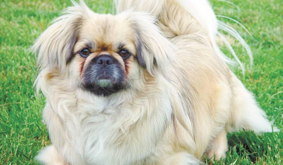 Pekinczyk Pies Tylko Do Uwielbiania Porannypl