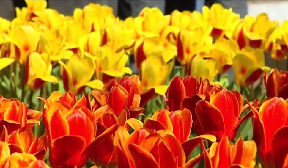 Film do artykułu: Jutro Dzień Kobiet. Uważajmy, jakie kwiaty wręczamy w prezencie. Co symbolizują ich kolory?
