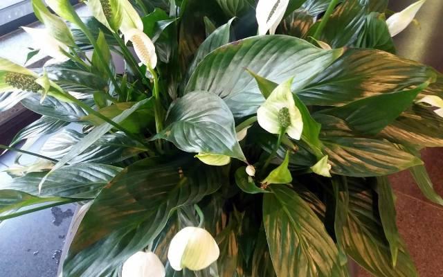 Skrzydłokwiat to jedna z roślin doniczkowych, która dobrze pochłania toksyny z powietrza, które znajduje się w pomieszczeniu.