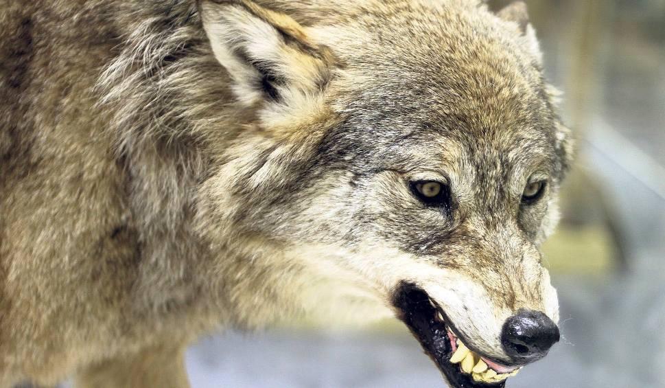 Film do artykułu: W Wołkowyi rządzą wilki. Nie boją się ludzi. Wójt gminy soliny prosi o odstrzał