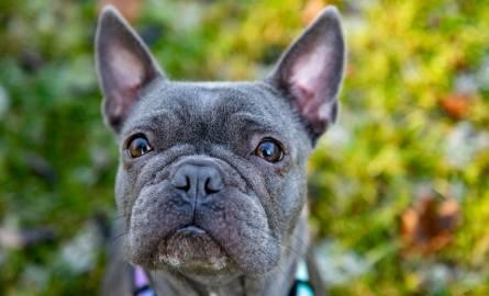 W 2015 roku hodowcom w Puszczykowie (powiat grodziski) fundacje prozwierzęce w asyście policji odebrały 53 psy, które żyły w skrajnie złych warunkach.