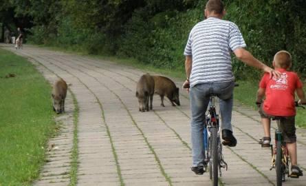 W mieście coraz częściej spotykamy dziki. Nie dokarmiajmy ich i zgłaszajmy służbom, gdzie żerują