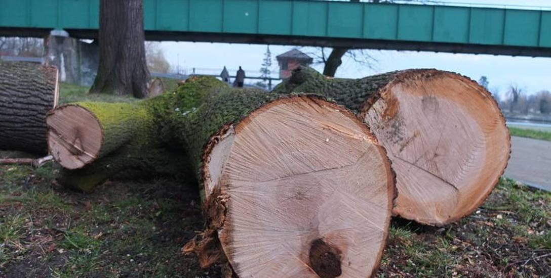 Wycinka drzew w Parku Nadodrzańskim w Opolu.