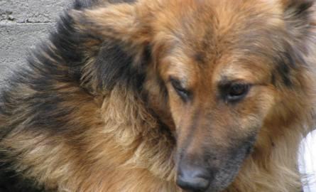 Pies pogryzł dziewczynę na ul. Steyera w Ostrołęce. Policja szuka świadków zdarzenia