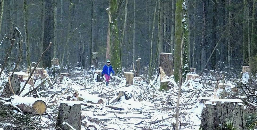 Ekolodzy alarmują, że ubiegły rok był rekordowy pod względem wycinki w puszczy. Wycięto niemal 190 tys. metrów sześc. drewna, czyli czterokrotność średniego,