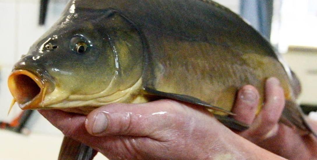 Ryba czuje i cierpi. Prawo w obronie karpia. Przybywa wyroków za znęcanie się nad nimi w Polsce