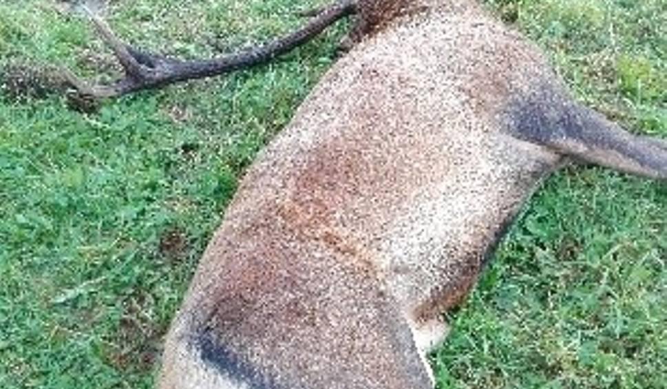 Film do artykułu: 7000 złotych za wskazanie kłusownika jeleni, który strzela do zwierząt i pozbawia ich poroży