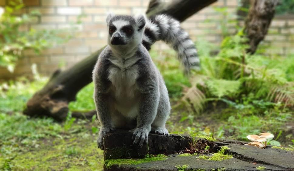 Film do artykułu: Opolskie ZOO bez tajemnic. Dlaczego u lemurów rządzą kobiety? Odpowiedz i zgarnij bilet VIP