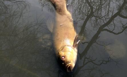 Śnięte ryby na Sołtysowicach. Udusiły się?