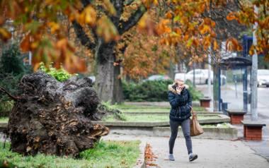 Ekspertyza zlecona przez ratusz wykazała, że stuletnie Kasztanowce, które rosną przy placu Kościeleckich, przy silnym wietrze mogą zagrażać mieszkańcom.