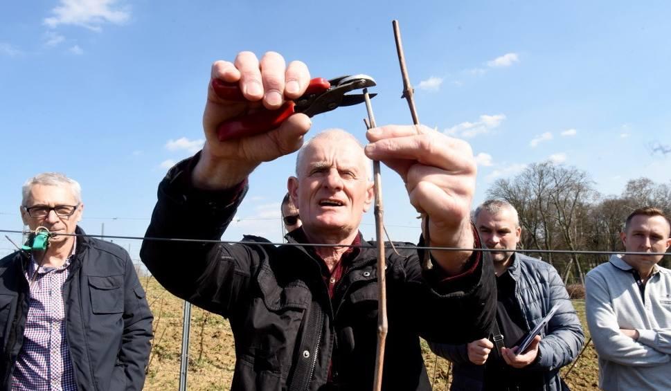 Film do artykułu: Cięcie winorośli - kiedy i jak przycinać winorośl? Zobacz film instruktażowy z Lubuskiego Centrum Winiarstwa w Zaborze