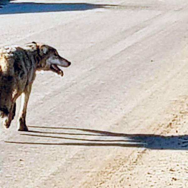 Powrót wilków to dobra wiadomość. Nie będzie powtórki z baśni o Kapturku