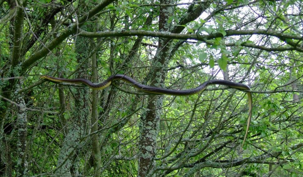 Film do artykułu: Niezwykłe węże na drzewach w polskich lasach. Lasy Państwowe: To bardzo rzadki gatunek! [zdjęcia]