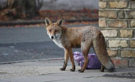 Ludzie w domach, a na ulicach miast... zwierzęta. Czy koronawirus służy naturze?