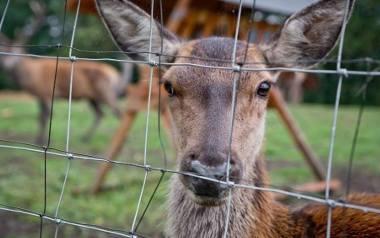 Kiedy postawiono nowe ogrodzenie wojskowej bazy w Redzikowie, uniemożliwiono zwierzętom wydostanie się z niej.