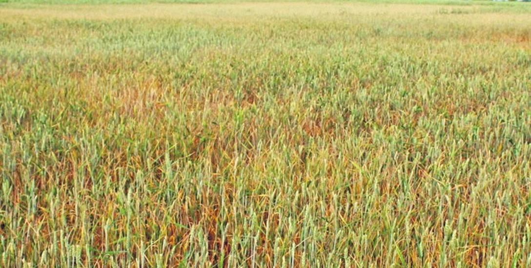 W uprawach zbóż jarych suszę odnotowano w 2285 gminach. To 92 proc. polskich gmin!