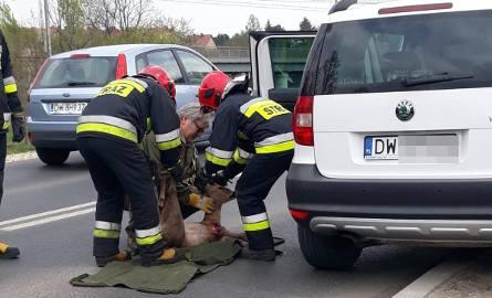 Wypadek we Wrocławiu. Sarna wpadła do auta przez przednią szybę [ZDJĘCIA]