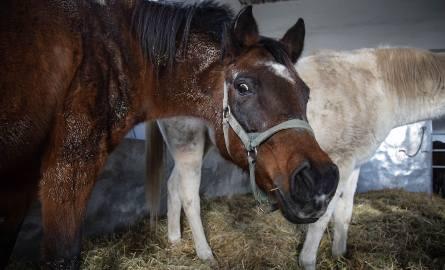 Konkurencyjna aukcja koni pod Krakowem?