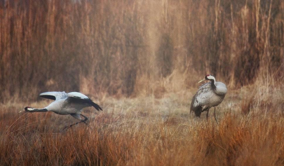 Film do artykułu: W Świętokrzyskie przyleciały żurawie. To pewny znak przedwiośnia [WIDEO]