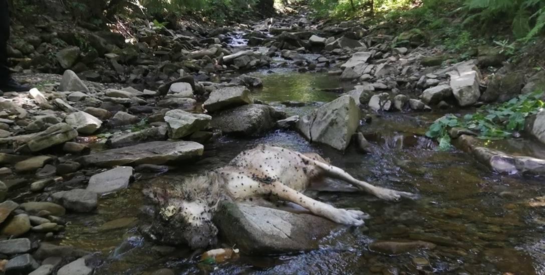 Truchło wilka znaleźli w potoku Węgierski w Brennej turyści. Zwierzę zostało zastrzelone