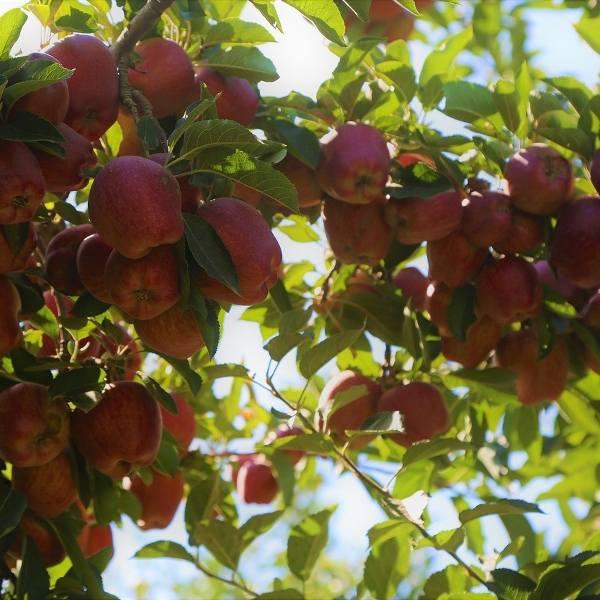 Wielkie oszustwo w skupie owoców? Poszkodowanych może być kilkudziesięciu rolników z powiatu opatowskiego i ościennych
