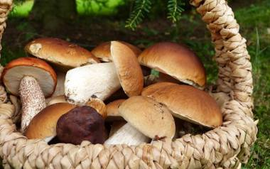 Borowik szlachtny to wyjątkowy grzyb.