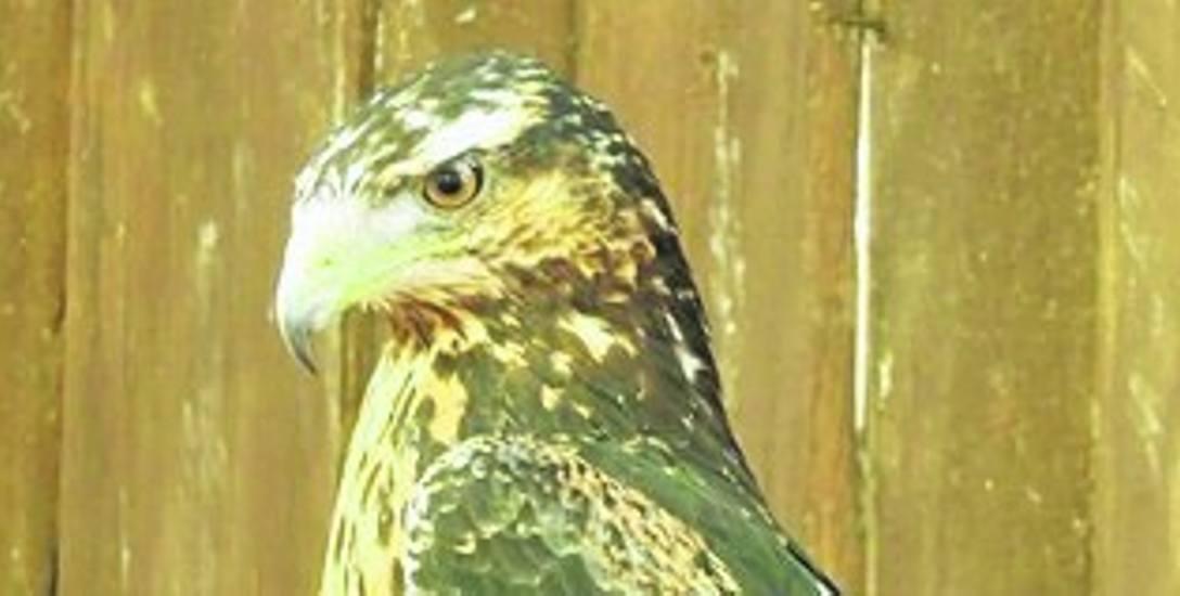 Młoda aguja to piękny i majestatyczny ptak