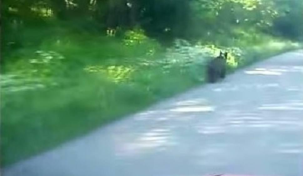 Film do artykułu: Niedaleko Lutowisk, na drodze do pracy spotkał niedźwiedzia [WIDEO]