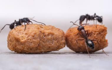 Przy zwalczaniu mrówek w domu, na balkonie czy w ogrodzie idealnie sprawdzi się proszek do pieczenia. Wystarczy posypać ścieżkę, którą wyznaczyły sobie