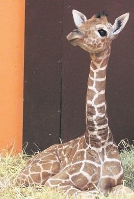 Mała żyrafa urodziła się 23 września w chorzowskim zoo. Aktualnie znajduje się pod opieką mamy, niedługo pozna swojego tatę
