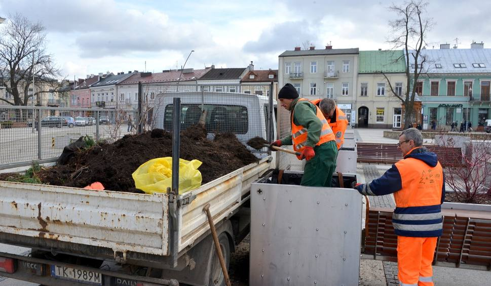Film do artykułu: Wymieniają drzewa w donicach na Rynku w Kielcach, nowe mają dawać więcej cienia (WIDEO)