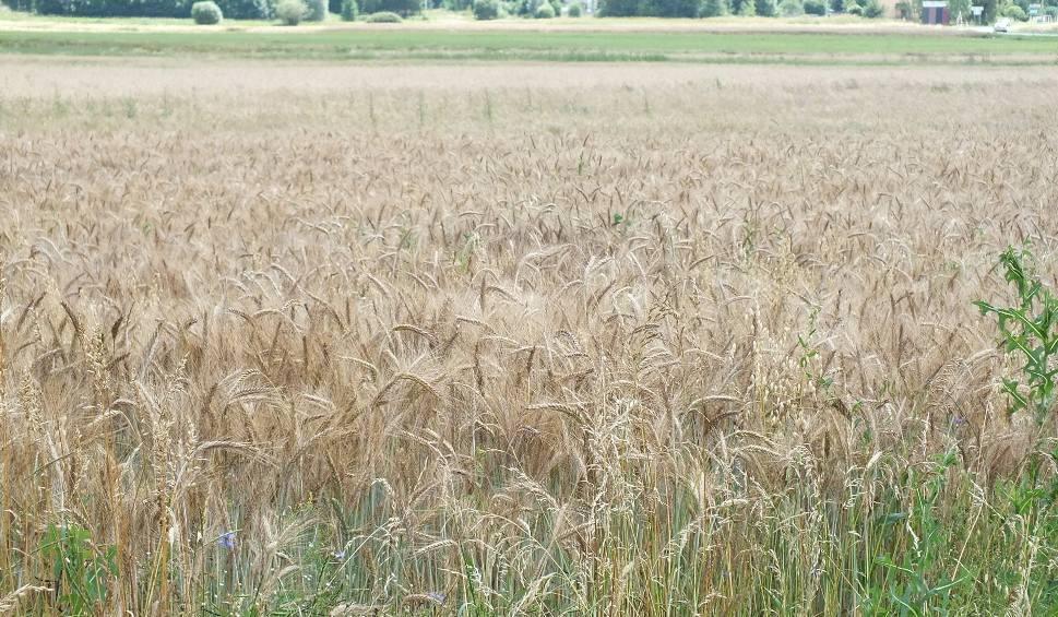 Film do artykułu: Rolnicy z powiatu starachowickiego zadowoleni. Będzie dobry urodzaj zbóż