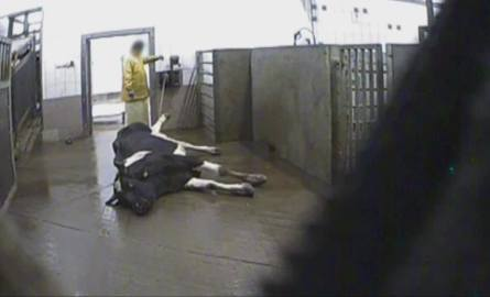 """Ubojnia krów w Kalinowie: Jak wygląda praca w rzeźni? """"Takie mięso to idzie na kebab"""" [SUPERWIZJER TVN REPORTAŻ CHORE BYDŁO KUPIĘ]"""