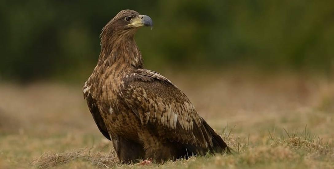 Bieliki mają tu jak w raju. W lasach w okolicy Gubina powstała strefa ochronna dla tych ptaków. Gdzie? Miejsce owiane jest tajemnicą