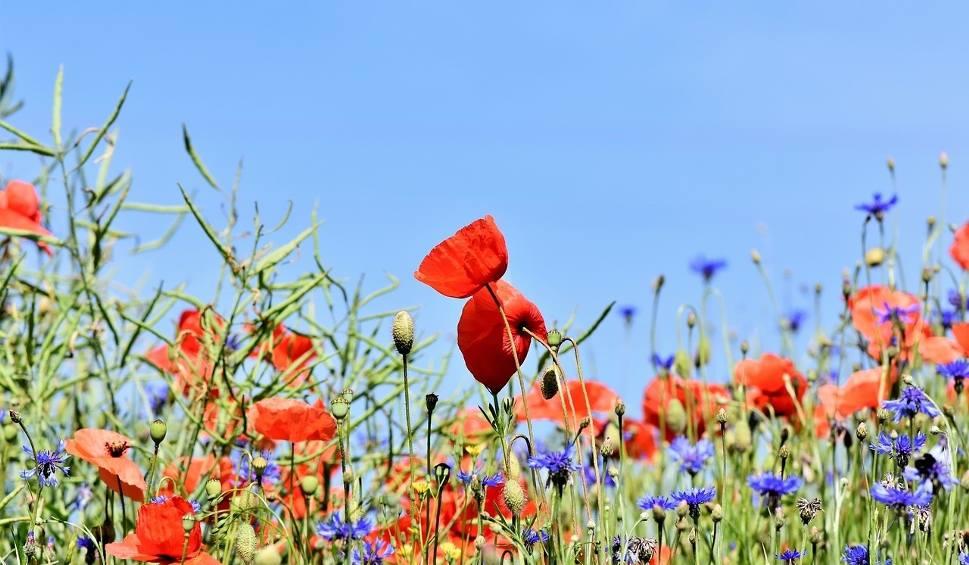 Film do artykułu: Łąka kwietna - tańsza i piękniejsza niż trawnik, nie musisz jej podlewać. Jak założyć stołówkę dla pszczół w ogrodzie?