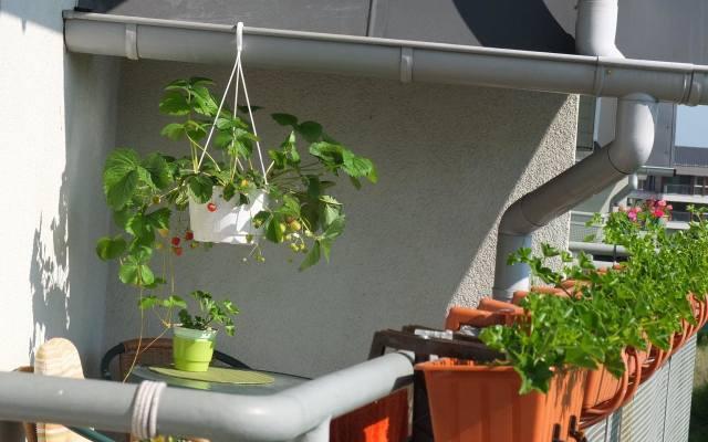Piękną i smaczną dekoracją na balkonie mogą być truskawki.Truskawki uprawiane w pojemnikach zajmują mało miejsca i łatwo się je zbiera.