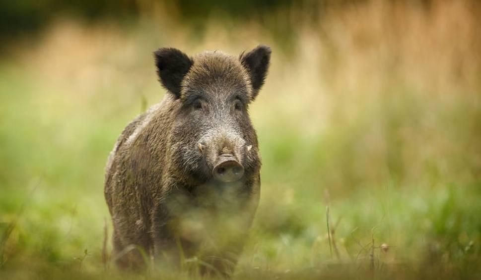 Film do artykułu: ASF w Lubuskiem. Wirus afrykańskiego pomoru świń wykryto w powiecie wschowskim u martwego dzika [17.11.2019]