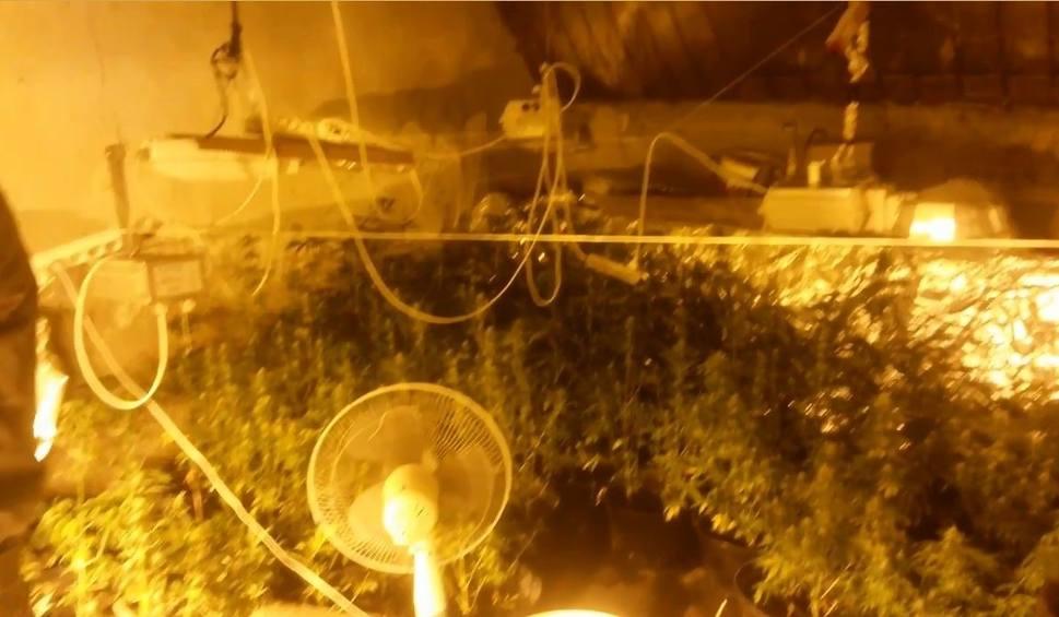 Film do artykułu: Cios w narkotykowy biznes. Zlikwidowana plantacja marihuany