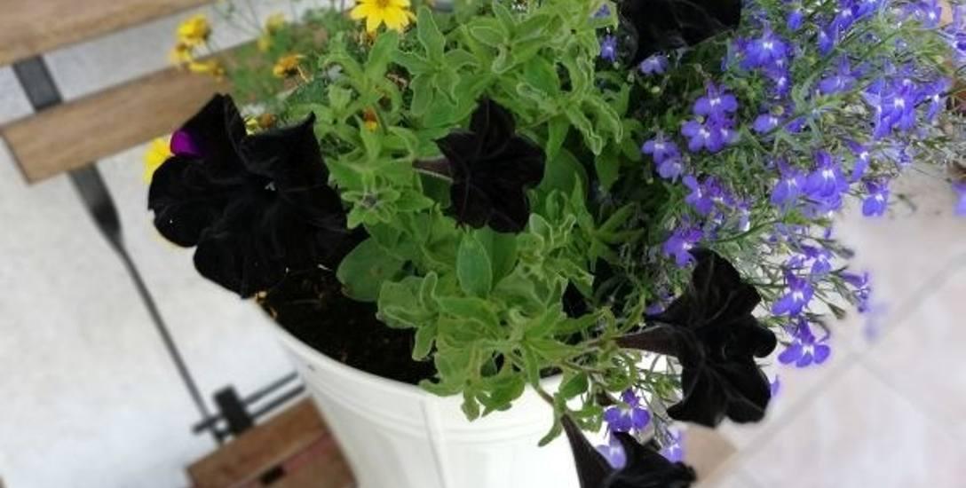 Czarne kwiaty i rośliny ogrodowe są jak klejnoty wśród innych roślin w ogrodzie i na balkonie