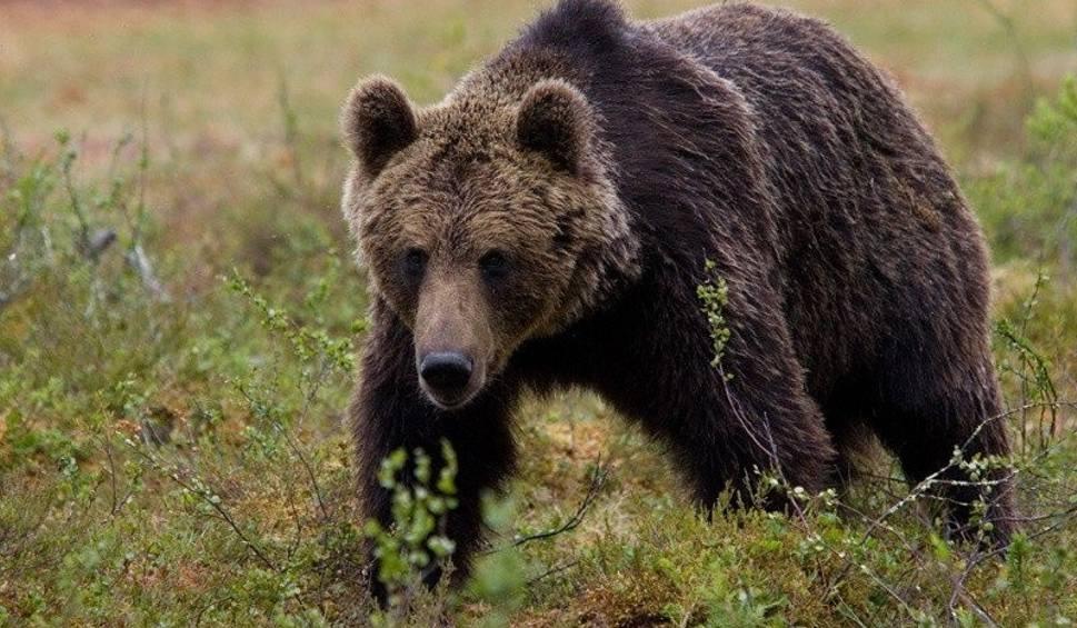 Film do artykułu: W lasach koło Komańczy niedźwiedź zaatakował i poturbował człowieka. Zabrało go pogotowie