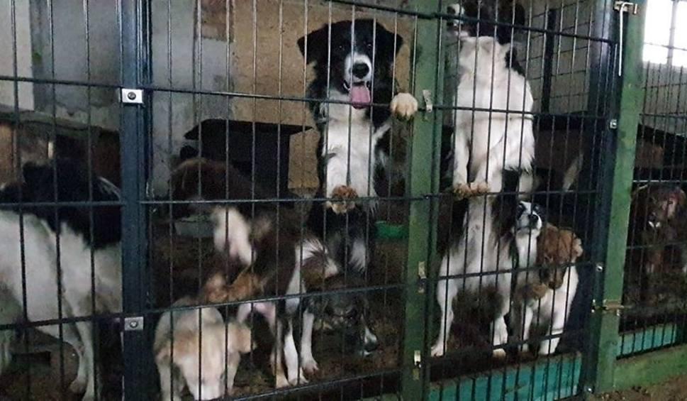 """Film do artykułu: """"Fabryka zwierząt"""" w gminie Gubin. Psy były wszędzie. """"Czegoś takiego jeszcze nie widzieliśmy""""- mówią inspektorzy"""