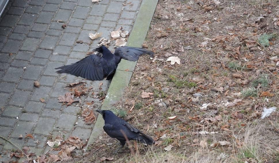 Film do artykułu: Otrute ptaki przed miasteckim ratuszem (wideo, zdjęcia)