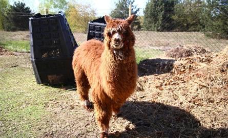 Alpaka przypomina nieco lamę, ale jest od niej mniejsza i z budowy ciała podobna także do owcy