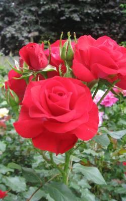Kwiaty Na Walentynki 2018 Jakie Kwiaty Kupić Na Walentynki Dla