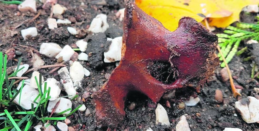 Pan Olaf ludzkie szczątki na cmentarzu Starofarnym znalazł niedaleko mogiły, w której spoczywa jego rodzina.