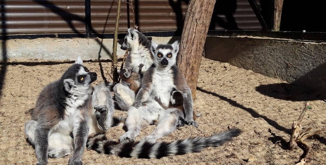 Cała rodzina w słoneczne dni lubi wylegiwać się na wybiegu. Jednak wszystko z umiarem - lemury nie lubią nachalnych gości