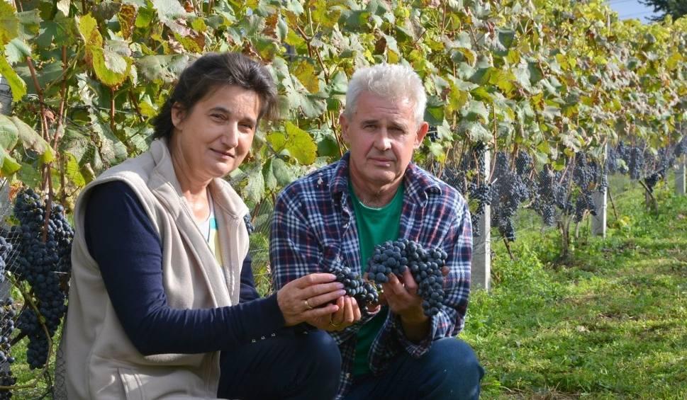 Film do artykułu: Strefa Agro. Winobranie i tajniki uprawy winorośli w Świętokrzyskiem