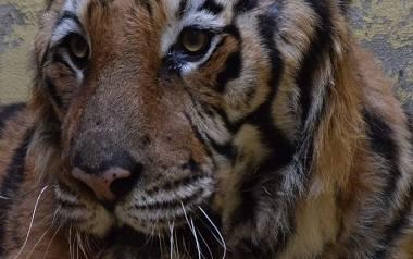 W nocy z wtorku na środę odbyła się operacja jednego z tygrysów, który miał zostać w Poznaniu - Gogha.